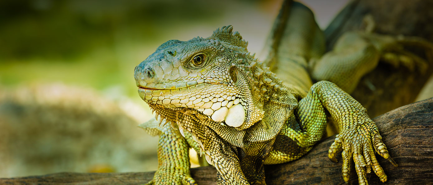 hotel, bay, bahia, huatulco, wildlife, iguana, animal,
